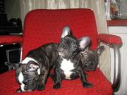 Продам щенков французского бульдога. Недорого