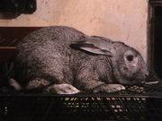 Продам взрослых кролей