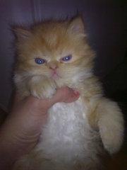 Срочно продам персидских котят