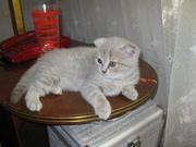 Продам вислоухих шотландских котят голубого и лилового раскраса