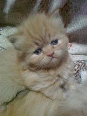 котята породы перс-экстримал
