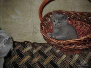 Продаются британские и шотландские вислоухие котята 300-500 грв.