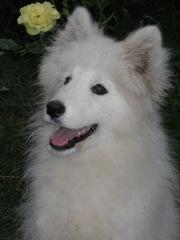 Продам собаку породы Лайка-самоед