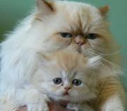 Персидские рыжие котята в Луганской обл