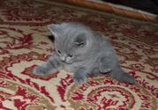 Продаются котята шотландские