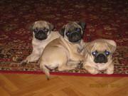 Очаровательные щенки мопса ждут любящих хозяев