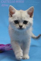 Престижные котята-британские шиншиллы