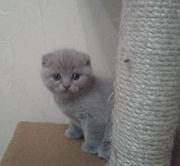 шотландские котята Луганск