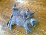 .Шотландские голубые прямоухие котята