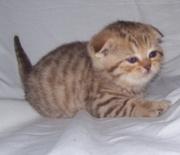 Шотландские котята для Вас!