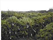 Живые срезанные сосны(елки) оптом с лесхоза к Новому году