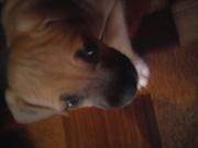 продам щенков американского стаффордширского терьера