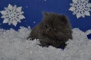 Продам  котенка ХАЙЛЕНД-СТРАЙТ