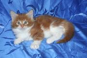 Котята - мейн-куны лучших европейских линий. Шоу и домашние любимцы. Д