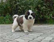 Московская сторожевая (щенки) - Собаки и щенки!!