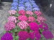 Продам цветы оптом к 8марта