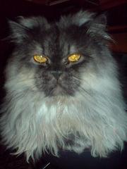 предлагаю кота перса для вязки
