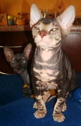 донские сфинксы котята