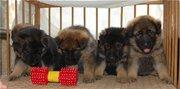 продаются щенки немецкой овчарки